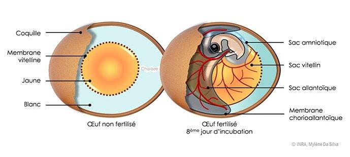 De nouvelles molécules anti-infectieuses dans l'œuf